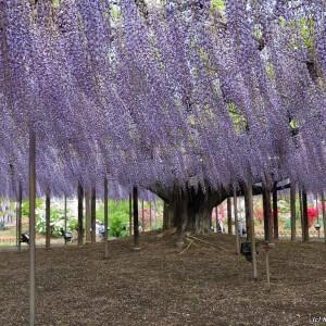 Великое дерево Глициния (Wisteria)