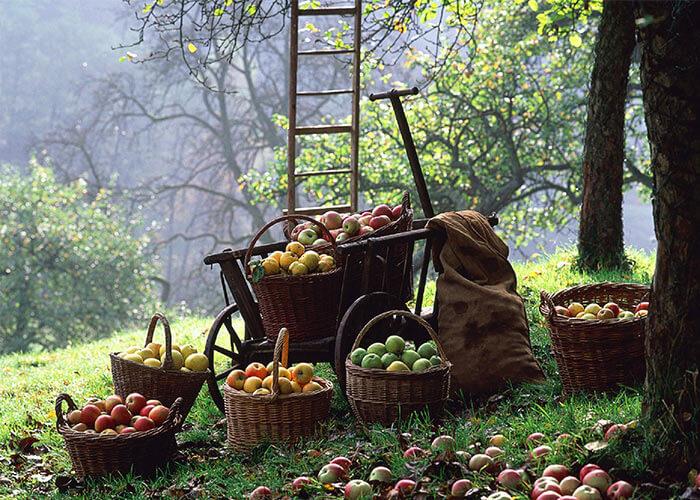 Плодовый сад – источник витаминов.