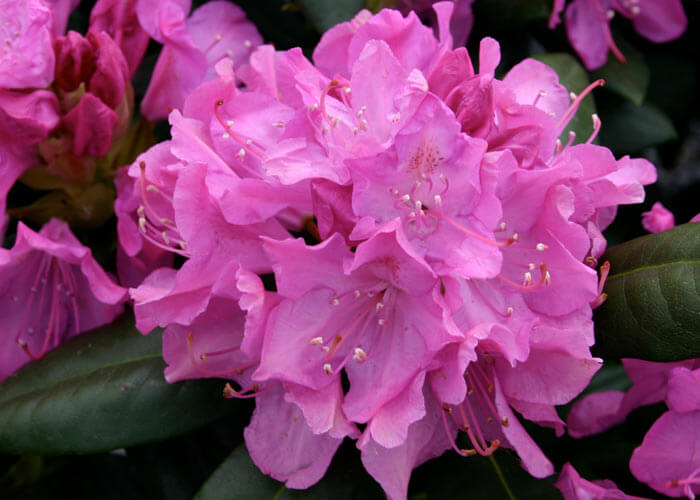 Рододендроны или цветущая роскошь вашего сада.