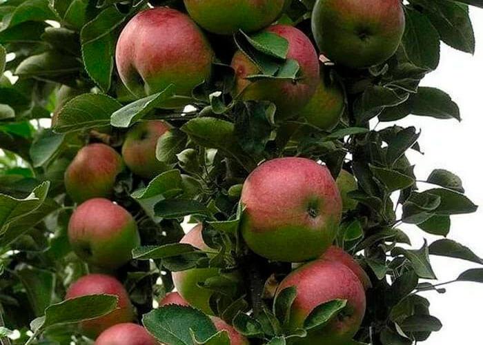 Наливные яблочки в саду