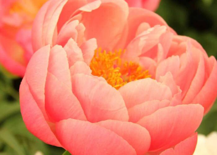 Пионы – восхитительные жители вашего сада