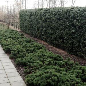 Хвойная живая изгородь — модная альтернатива забору или ограждению.