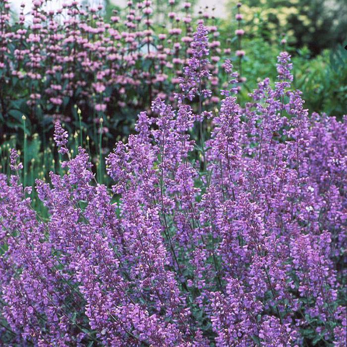 Секреты в саду: что посадить, чтобы отогнать комаров с участка?