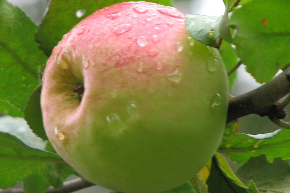 Сорта плодовых деревьев.